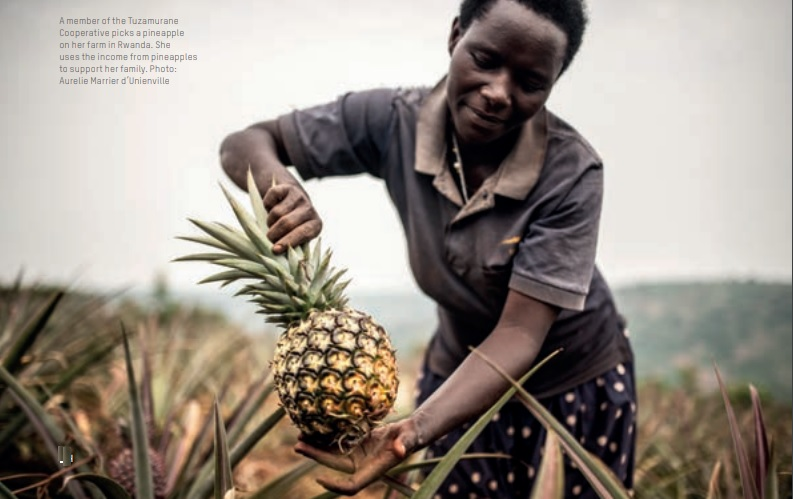 A member of the Tuzamurane Cooperative picks a pineapple on her farm in Rwanda. She uses the income from pineapples to support her family